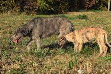 Irish Wolfhound vom Fürstenwall